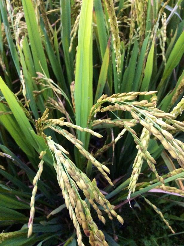 Rice Field-, a locals garden.