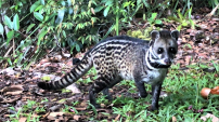 This little Civet kept us company at Nepenthes Camp