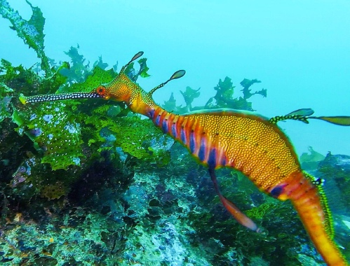 Weedy Sea Dragon captured in Jervis Bay by Spirit Quest Travel