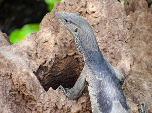 Monitor lizards out for lunch in Wilpattu National Park | Visit Spirit Quest Travel to learn more.