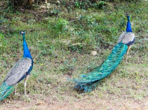 Peacocks in Wilpattu National Park Sri Lanka | Visit Spirit Quest Travel to learn more.