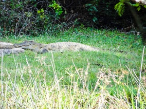 Crocodiles lurking in Wilpattu National Park for their next prey | Visit Spirit Quest Travel for more info.