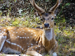 White spotted deer found on Sri Lanka safari. | Visit Spirit Quest Travel to learn more.
