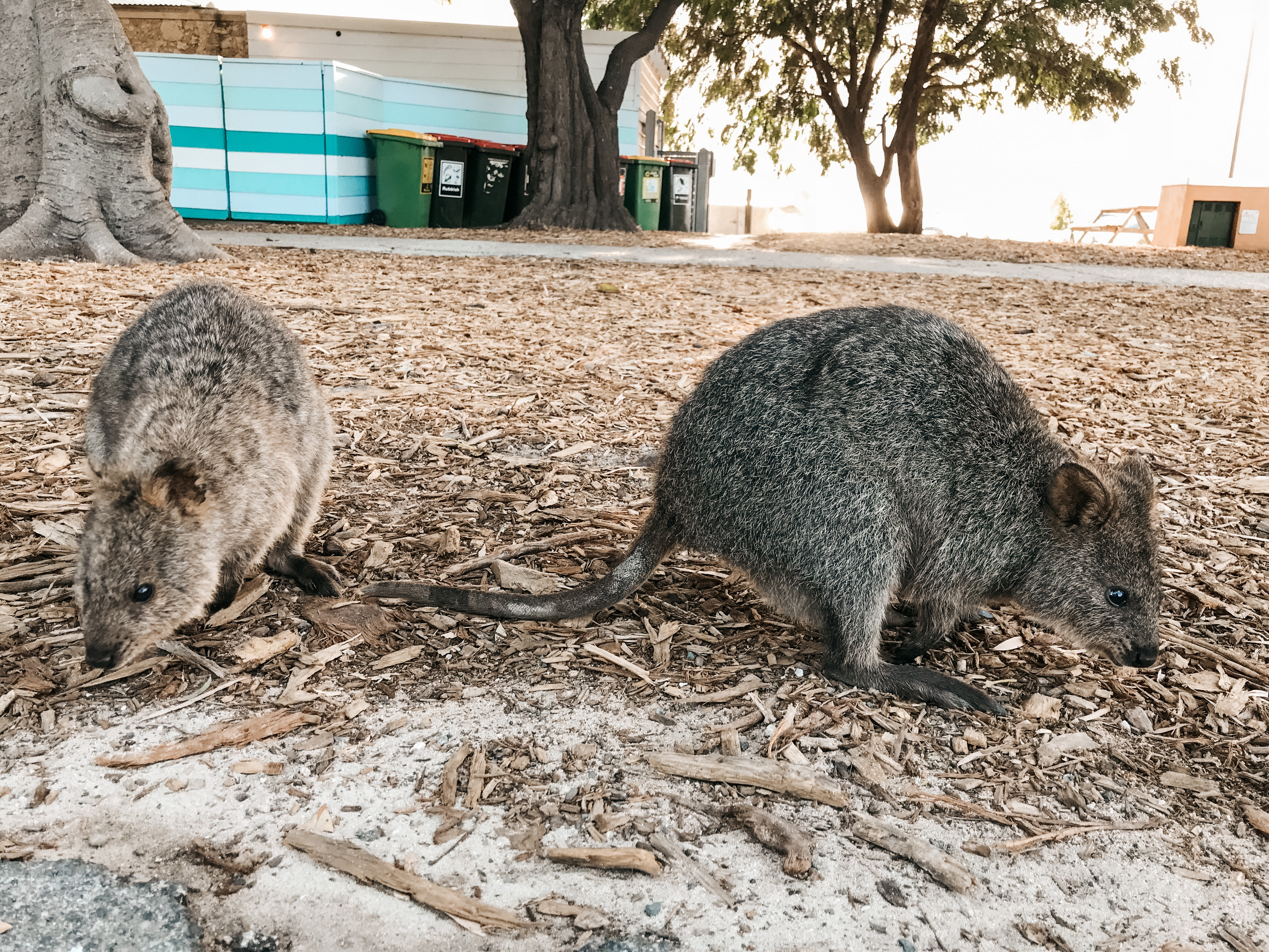 Quokkas on Rottnest Island. Learn more www.spiritquestravel.com.au